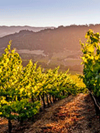 A Holiday Toast to the 2015 Wine Harvest: Sustainable Practices and Pairings